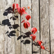 Red leafage of wild grape on gray wooden fence panels — Stok fotoğraf
