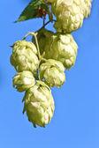 Hop cones over a blue sky — Stock Photo