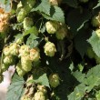 Stock Photo: Hop plant