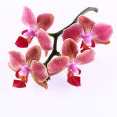 Orchid flowers — Stock Photo