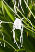 White Spider Lily - Hymenocallis — Stock Photo