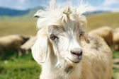 Young goat close up — Stock Photo