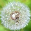 Fluffy dandelion, macro shot - Stock Photo
