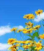 Margarida flores — Fotografia Stock