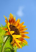 Yellow sunflower against blue sky — Foto Stock