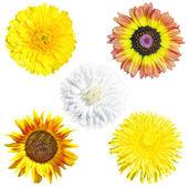 Daisy flowers, dandelion, sunflower — Stock Photo