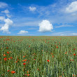 Landscape with field of red poppies — Stock Photo