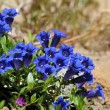 Stock Photo: Gentiana