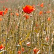 Golden wheat with red poppy — Stock Photo