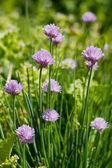 Allium Schoenoprasum known as Chives — Stock Photo