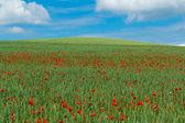 Landschaft mit grünen weizen mit klatschmohn — Stockfoto