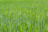 Detail of field with green spring grains — Stock Photo