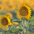Stock Photo: Sunflower in summer