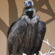 Big vulture — Stock Photo
