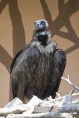 大きなハゲタカ — ストック写真