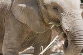 Yeme fil — Stok fotoğraf