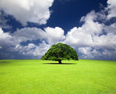 Single old tree on the grass field — Stock Photo