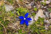 Low plants harsh alpine zone nevalnogo — Stock Photo