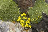 Low plants harsh alpine — Stock Photo