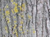 Poplar bark background — Stock Photo