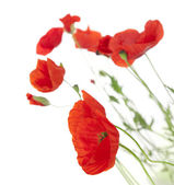 Poppies isolated on white background / focus on the foreground — Stock Photo