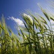 Green wheat field and cloudy sky — Stock Photo