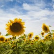 Sunflowers / panoramic — Stock Photo