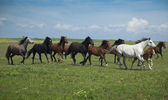 Horses Running / blue sky and green grass — Stock Photo