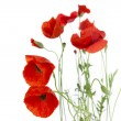 Stock Photo: Poppies isolated on white background / focus on foreground /