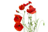 Poppies isolated on white background / focus on the foreground / — Stock Photo