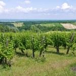 Vineyard. — Stock Photo #7657614