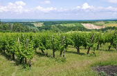 Vineyard. — Stockfoto