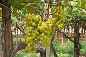 Vineyard. — Stock Photo