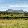 Stock Photo: Wine estate in Cape Town