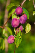 Ripe plums on the tree — Stock Photo