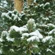 Snow on the branch, in wood — Stock Photo