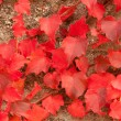 The old wall covered with scarlet leaves icloseup — Stock Photo