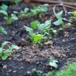 Fennel and radish leaves sprouted in garden — Foto Stock #7457886