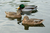 Three ducks — Stock Photo