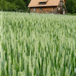 House in the wheat field - Stock Photo