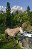 Horse in the Himalayas — Stock Photo
