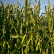 Stock Photo: Growing corn stalks