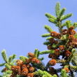 Stock Photo: Fur-tree branch with cones