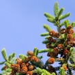 Fur-tree branch with cones — Stock Photo #7473781