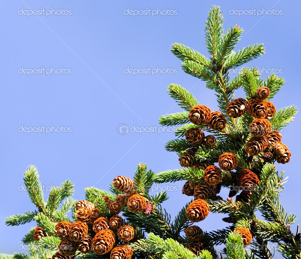 Fur-tree branch with cones against the sky   — Stock Photo #7473781