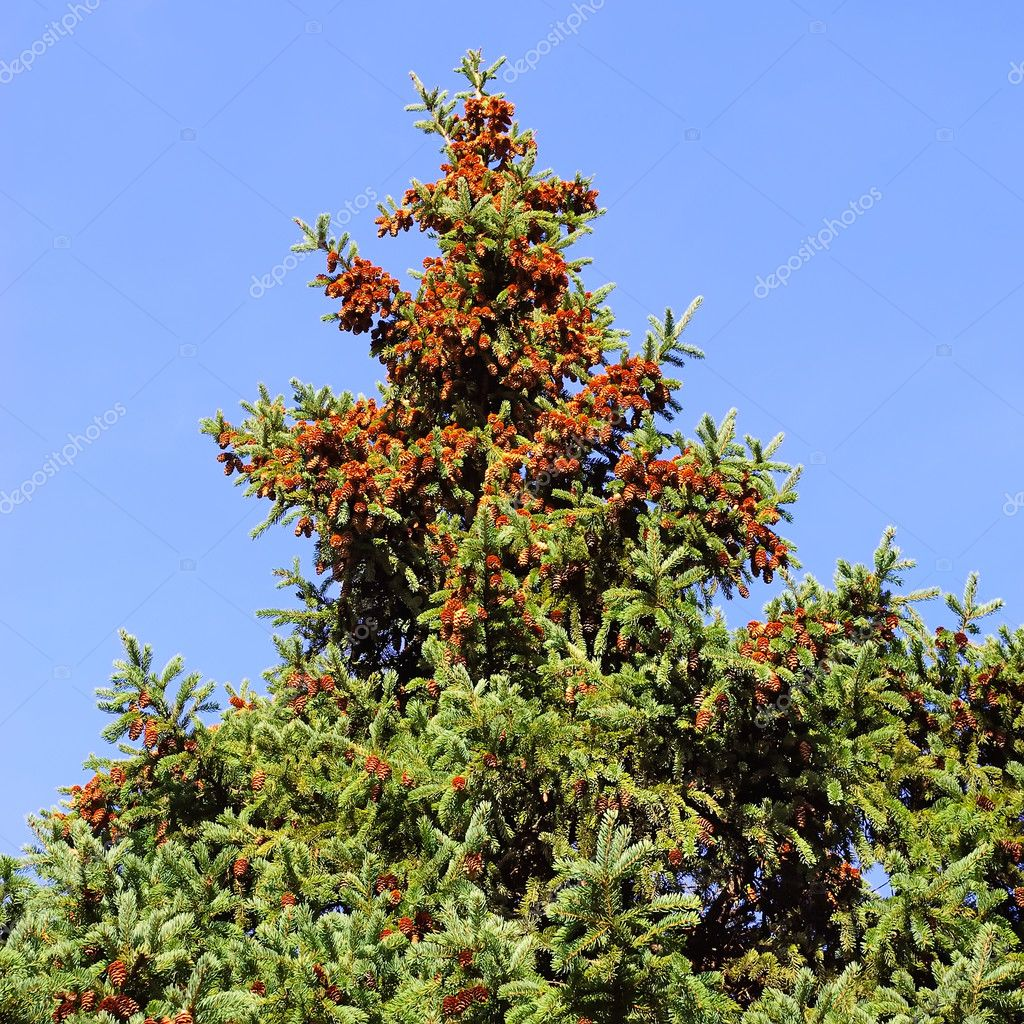 Branch of a coniferous tree, fur-tree  — Stock Photo #7473795