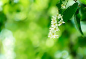 Apple Blossoms & Green Leaves — Stock Photo