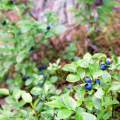 Wild blueberries growing in forest — Stock Photo