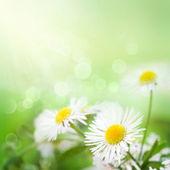 野雏菊 — 图库照片