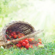 Стоковое фото: Freshly harvested tomatoes